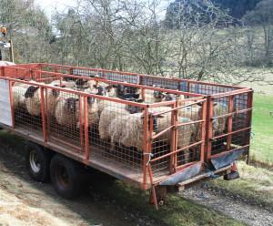 sheeptransport1